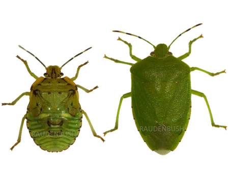 Stink Bugs of Ohio Soybean ID card | Agronomic Crops Insects